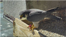 Black and white adult falcon