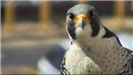 Close face view of the female adult falcon