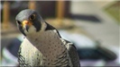 Face of the mother falcon