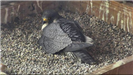 Falcon laying on the eggs