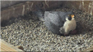 Falcon nesting on the eggs