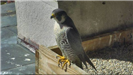 Falcon sitting in nesting box