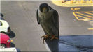 Falcon sitting on the corner of the ledge