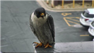 Falcon sitting on the ledge of the building
