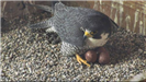 Falcon standing over the unhatched eggs
