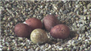 Five falcon eggs