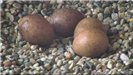 Four brown unhatched eggs