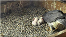 Mother falcon looking over the two baby falcons